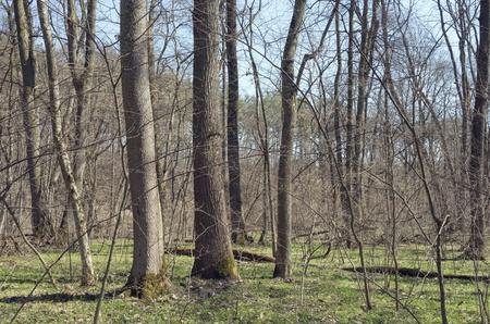Oak-ash wood in April Stock Photo