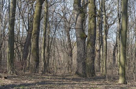 Oak-hornbeam forest. Pedunculate Oak (Quercus robur), Common Hornbeam (Carpinus betulus) Holosiyivsky wood (Kiev, Ukraine). Assocuation Galeobdolono lutei-Carpinetum