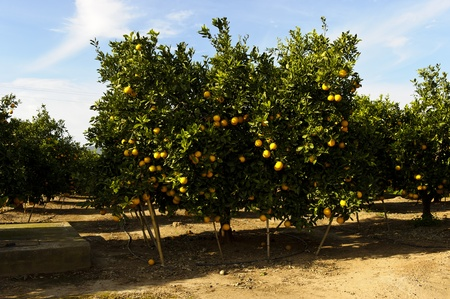 orange trees with fruits on plantation intensive