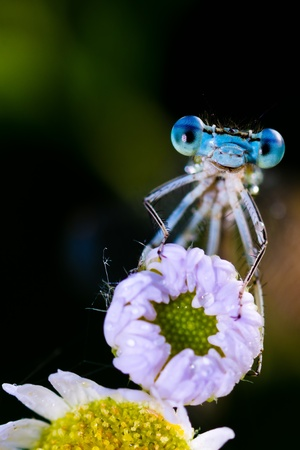 Blue Damselfly   Enallagma cyathigerum   Stock Photo