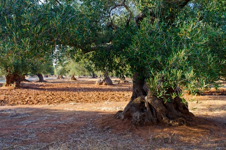 Mediterranean olive field with old olive trees in blue sky with little clouds