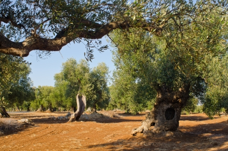 mediterranean olive field with old olive trees in blue sky with little clouds Stock Photo