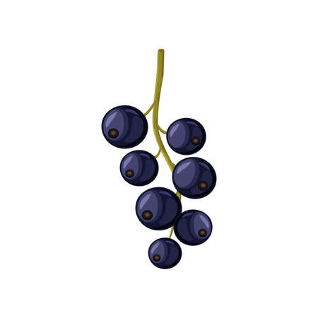 Vector black currant isolated on white background.