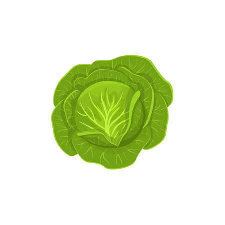 green cabbage  isolated on white background. Vector illustration. ingredients for cooking.