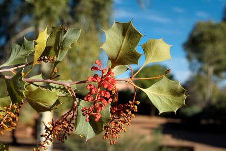 botanika: Austrálie, Botanika