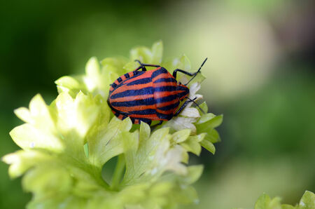 graphosoma:  stripped string bug