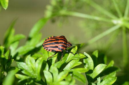 Zoology, stripped string bug photo