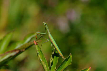zoology: Zoology, European Mantis Stock Photo