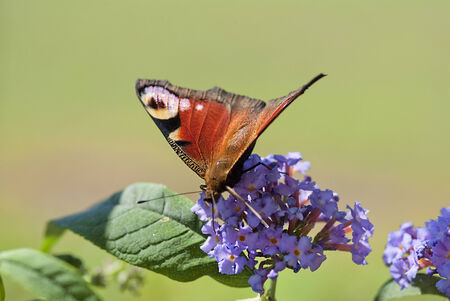 inachis: peacock butterfly