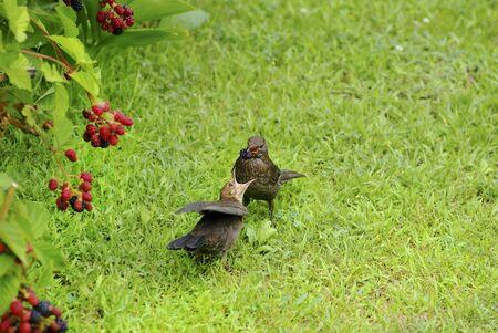 young bird: common blackbird feeding young bird with blackberries