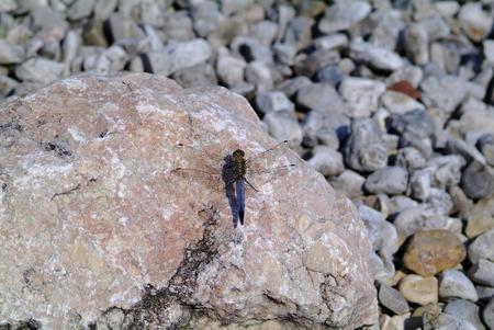skimmer: black-tailed skimmer Stock Photo