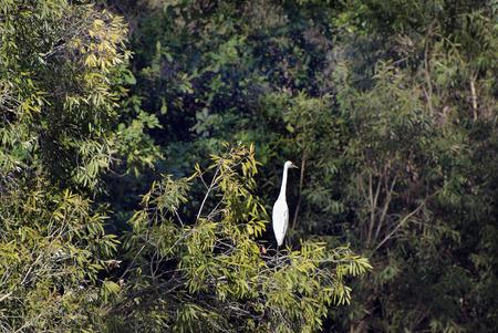 katherine: Australia, Great Egret in Katherine Gorge