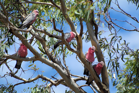 cockatoos: Australia, galah cockatoos in gum tree