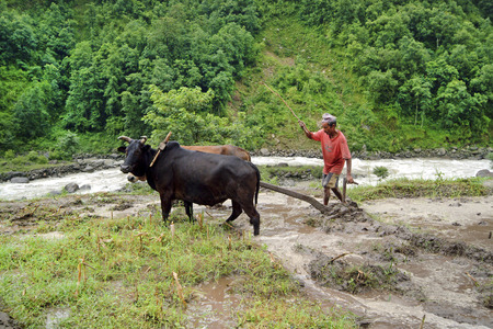 plough: Nepal - July 13th 2004: Unidentified peasant with ox plough by rice cultivation in an unknown small village in the north of the country