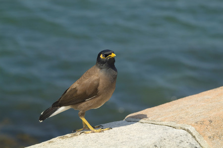 Myna bird, common myna