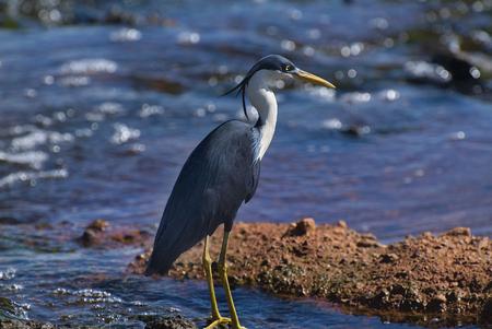 pied: Pied Heron Stock Photo