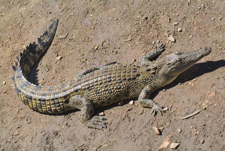 crocodylus: Saltwater Crocodile