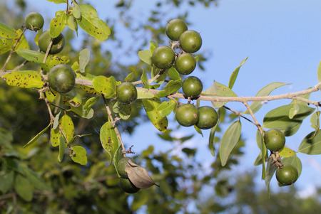 toxic: Australia, Strychnine Tree with toxic fruits Stock Photo
