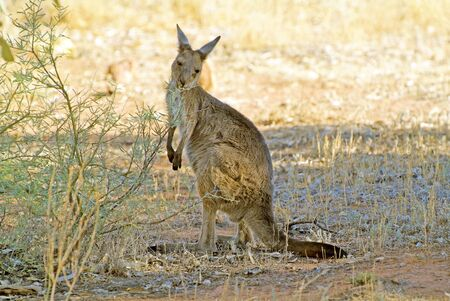 the outback: Australia, kangaroo in outback