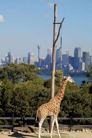 centrepoint tower: Sydney, Australia - May 10th 2010: Giraffe in Taronga zoo with skyline of Sydney in background Editorial