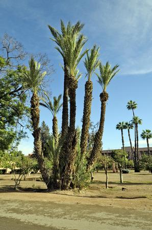 marrakesh: palm trees in Marrakesh, Morocco