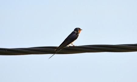 swallow: European swallow Stock Photo