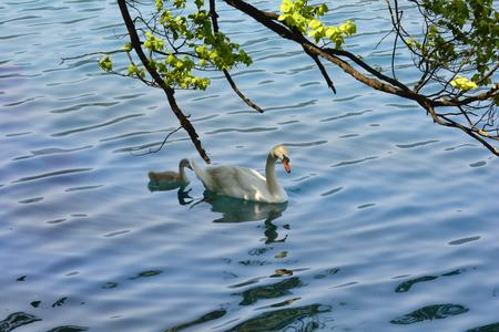 cygnet: Slovenia, swan with cygnet on lake Bled
