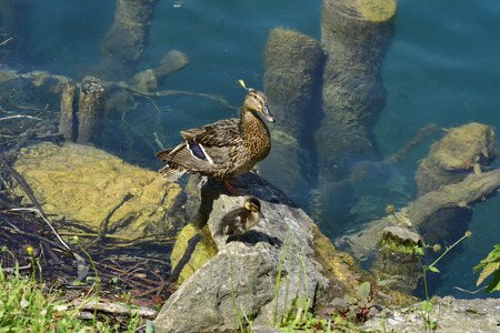 bled: wild duck with duckling on lake Bled in Slovenia