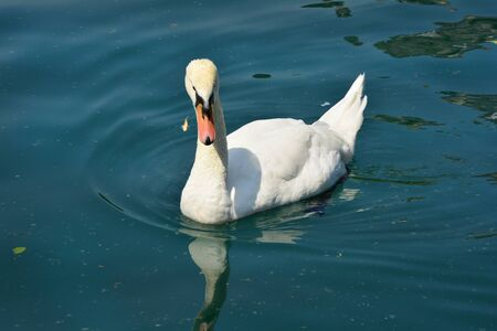 bled: Slovenia, white swan on lake bled