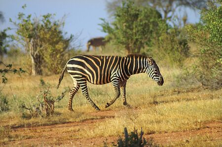 nationalpark: zebra in Tsavo Nationalpark Stock Photo
