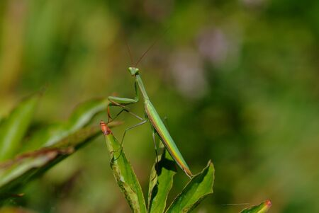 european mantis: Insects, European Mantis