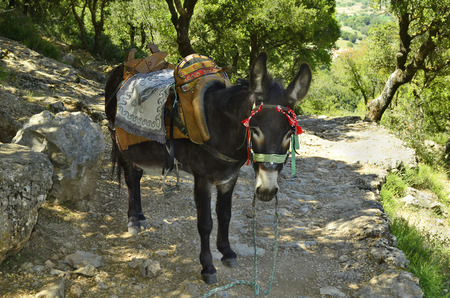 mode: Greece, Crete, donkey with equestrian saddle - mode of transport for tourists to Zeus cave Stock Photo