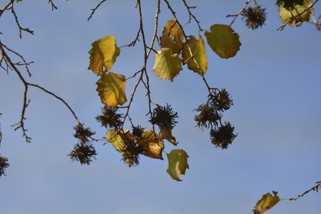 haselnussbaum: nuts and leafs of Turkish Hazel tree