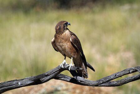 brown: Brown Falcon - Brown Hawk