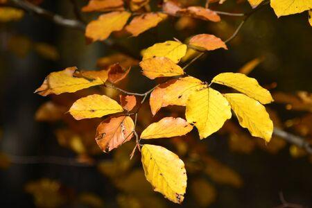 hornbeam: colorful leaves of common hornbeam