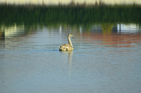 zoology: zoology, young mute swan on lake Stock Photo