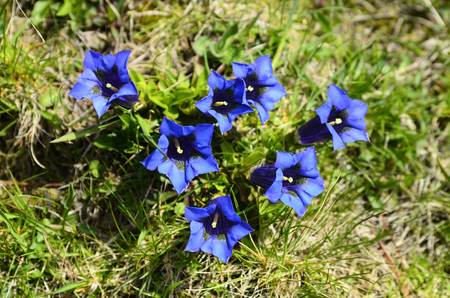 gentian flower: Botany, alpine gentian Stock Photo