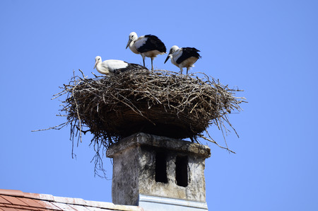 Austria, three young storks in nest on roof top