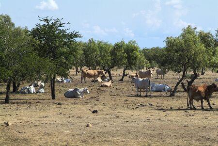 cattle breeding: Australia, cattle farm