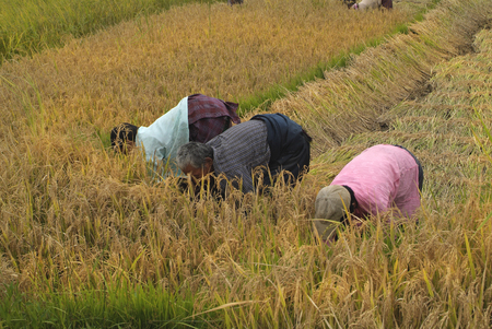 bhutan: Bhutan, unidentified peasants by rice harvest