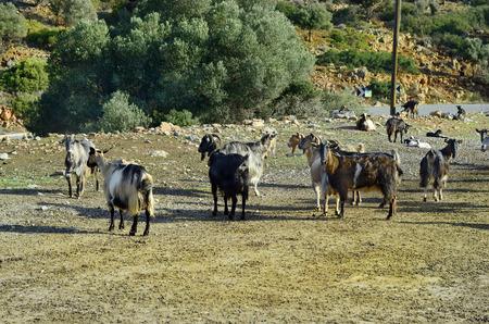 flock: Greece, Crete, flock of goats