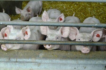 fattening: Austria, pig fattening farm