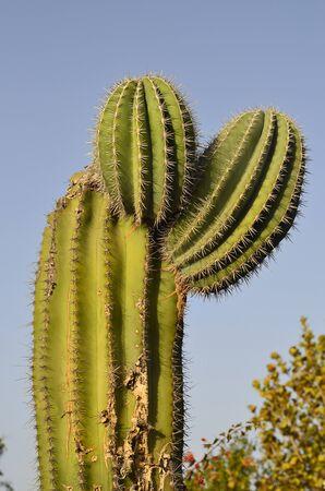 lanzarote: Cactus on Lanzarote Iceland, Spain