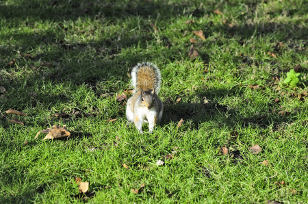 zoology: Zoology, Great Britain, London, squirrel