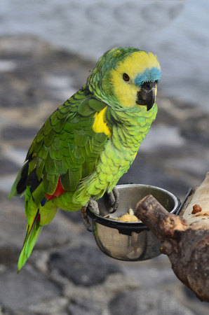 zoology: Zoology, blue fronted parrot Stock Photo