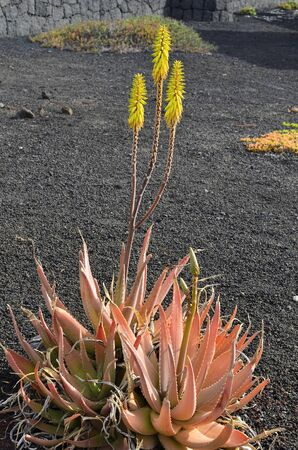 flowering aloe: Botany, flowering Aloe plant Stock Photo