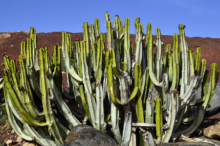 canariensis: Botany, cactus Euphorbia canariensis Stock Photo