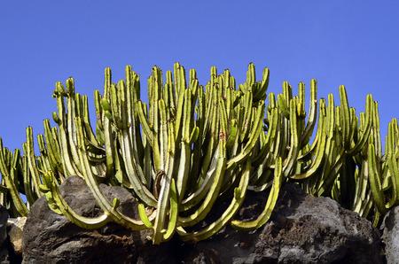 canariensis: Botany, Cactus Euphorbia canariensis