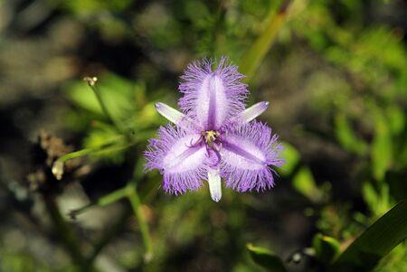 twining: Australia, Twining Fringed Lily flower