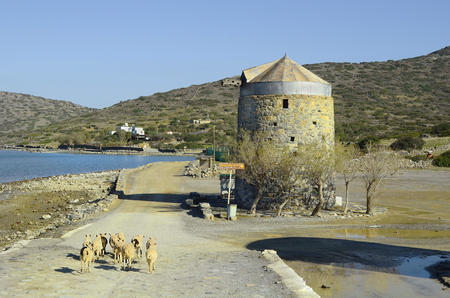 sheep road sign: Greece, Crete, flock of sheep on the road to Spinalongs island and old wind mill in Elounda